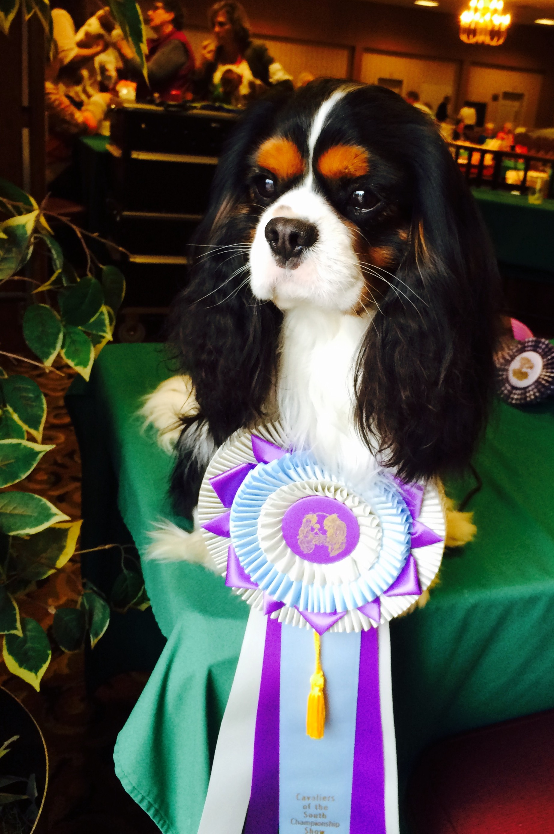 Juneau with his Reserve Best In Show Ribbon, March 2015